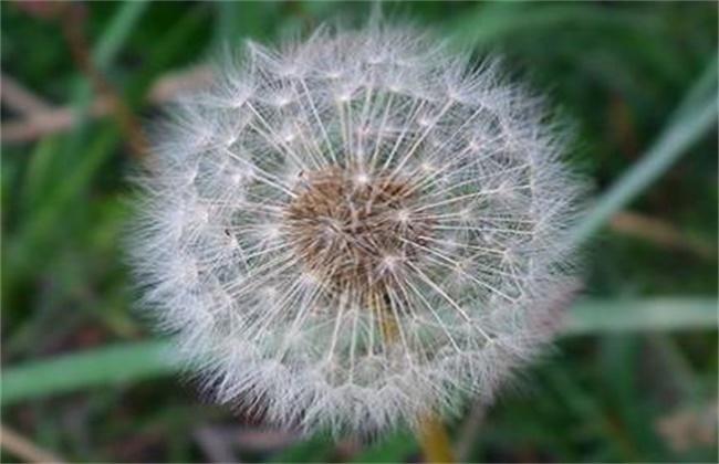 蒲公英的种植方法及注意事项