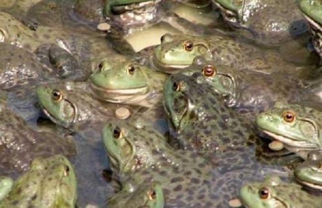 牛蛙的养殖前景