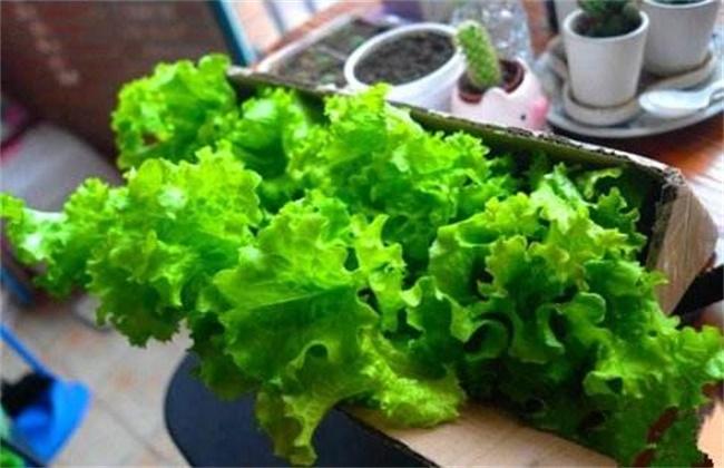 生菜種植方法和種植時間