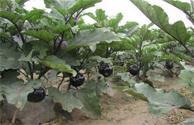 茄子的种植时间和方法
