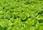 生菜的种植方法和种植时间
