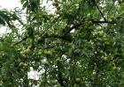 李子树剪枝的时间及方法
