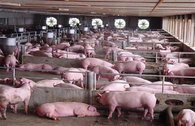 养20头猪一年赚多少钱
