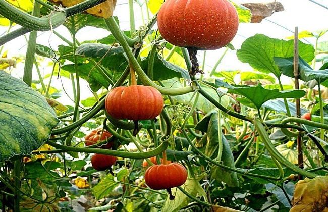 南瓜的种植技术:南瓜的高产栽植种养方法