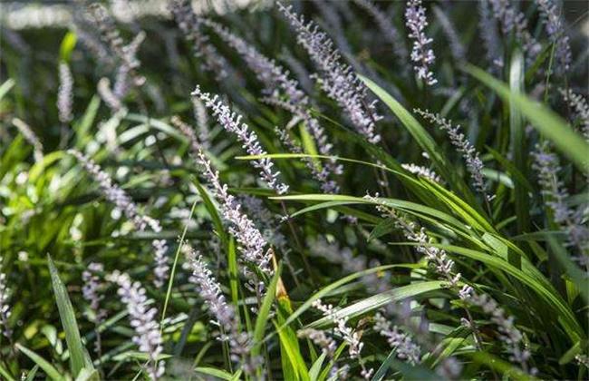 麦冬的常见病虫害及防治方法
