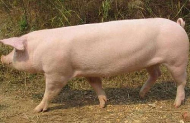 长白猪怎么养