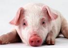 降低养猪成本的方法有哪些
