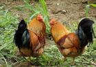 如何提高土鸡产蛋率