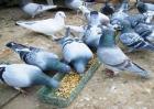 在农村养鸽子赚钱吗
