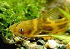 黄颡鱼最新养殖技术