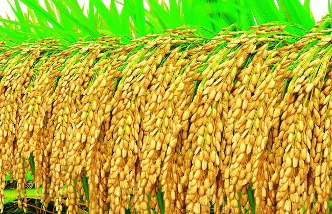 水稻施肥时间与施肥技术
