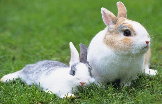 兔子的快速繁殖技术