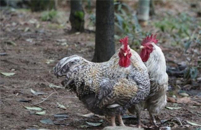 芦花鸡的养殖方法