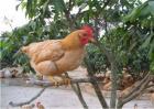 三黄鸡的养殖技术
