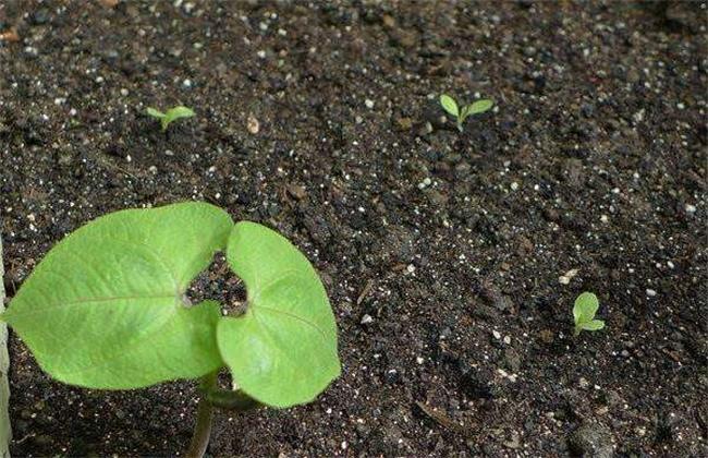 茄子种子快速催芽方法