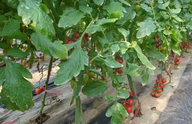 西红柿的种植时间和方法