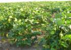 毛豆的种植时间和方法