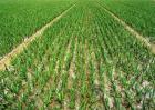 蒜苗的种植方法和时间