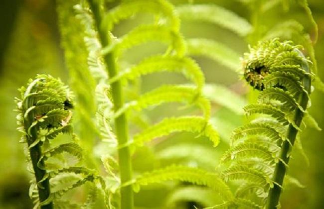 蕨菜的种植时间与方法