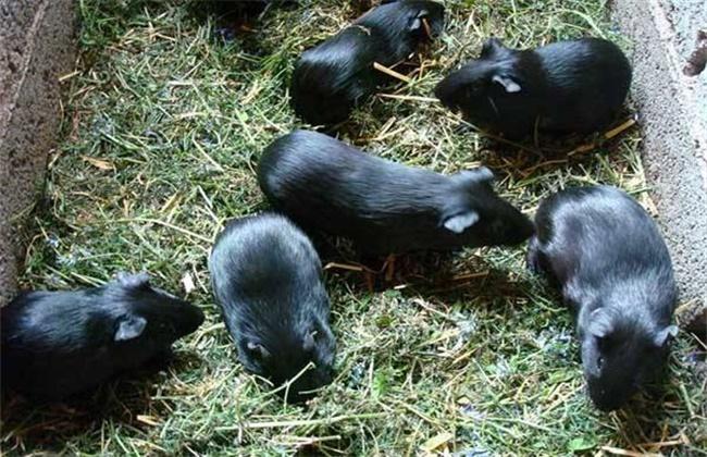 黑豚养殖的成本和利润分析