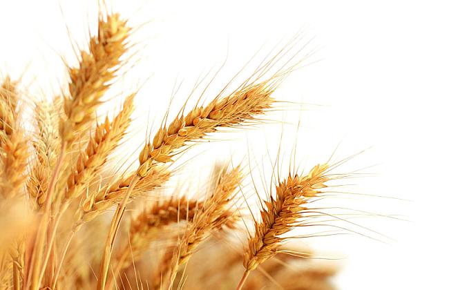 燕麦种植的注意事项