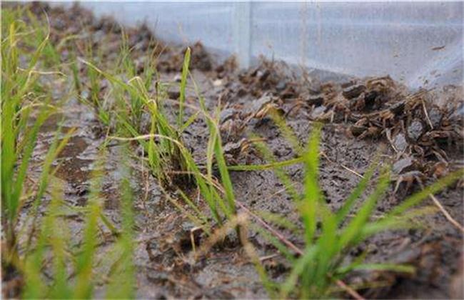 稻田螃蟹养殖技术