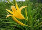 黄花菜的种植时间与方法