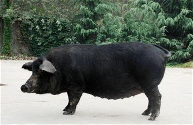 农村养什么猪好