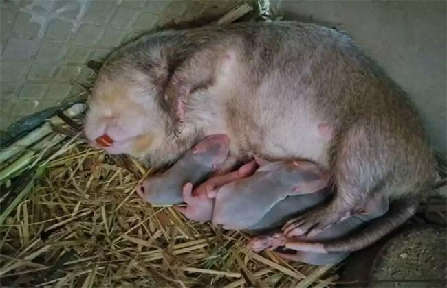 竹鼠会吃幼崽的原因及解决方法