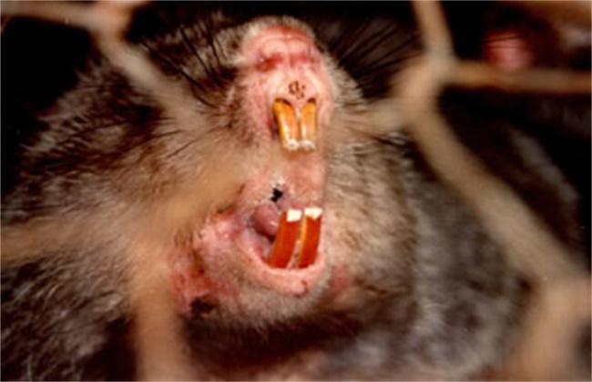竹鼠断牙的原因及解决方法