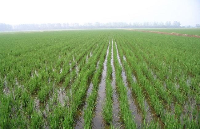 水稻高产的施肥方法