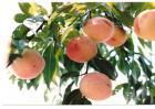 如何提高水蜜桃的产量
