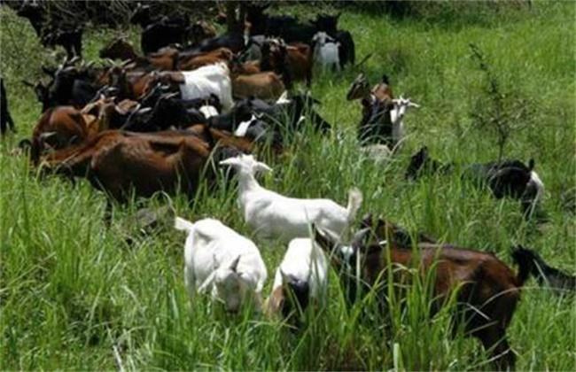 養羊戶要注意哪些管理事項:養羊的注意事項