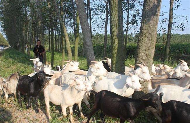 养羊避免近亲繁殖的方法