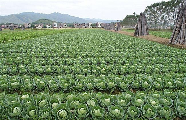 卷心菜的种植时间和方法