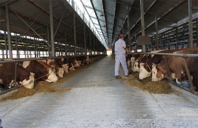 肉牛养殖的注意事项