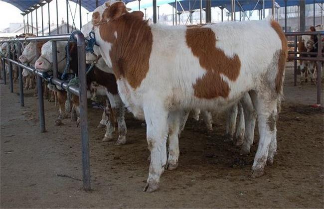 怎么判断母牛是否怀孕