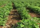 艾草种植的注意事项