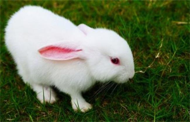 养什么品种的肉兔比较好