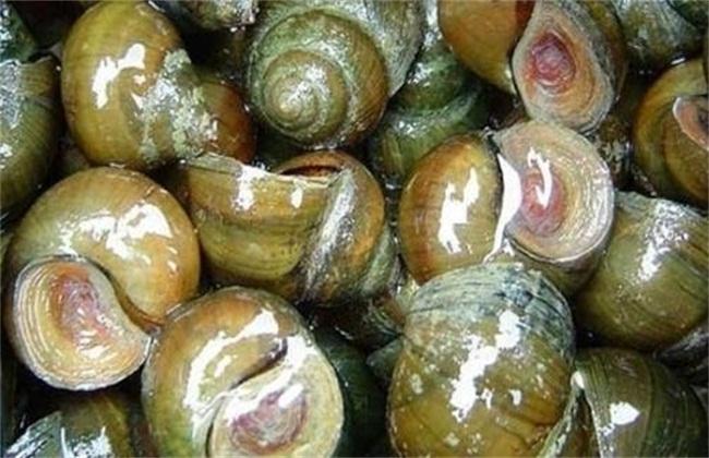 田螺养殖怎么产量高