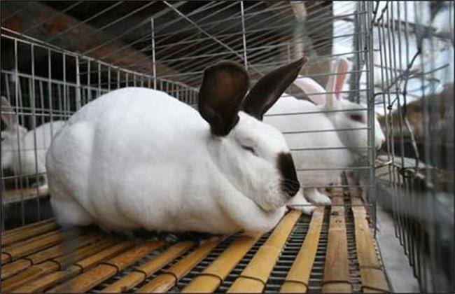 夏季兔子养殖技术