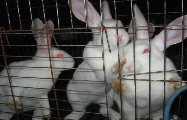 兔子养殖中暑怎么办