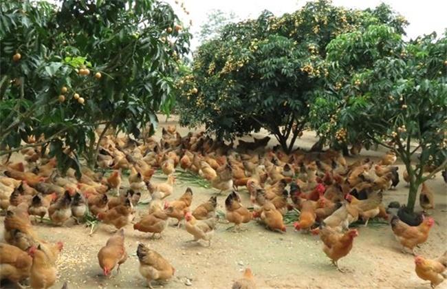 林下养鸡方法介绍