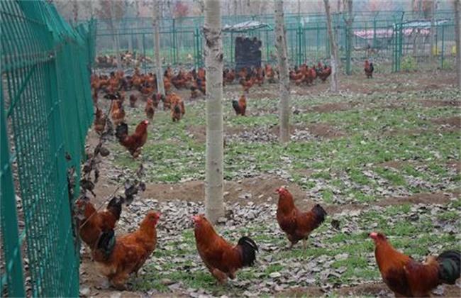 林下养鸡技术