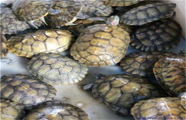 巴西龟养殖技术