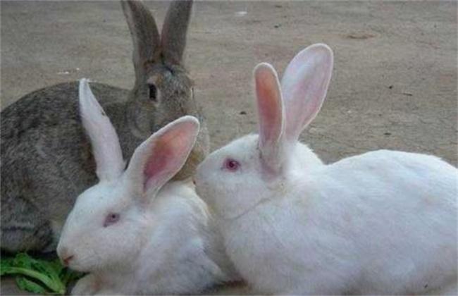 兔子养殖的注意事项