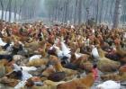 柴鸡养殖技术