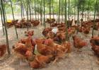 常见的土鸡散养方式