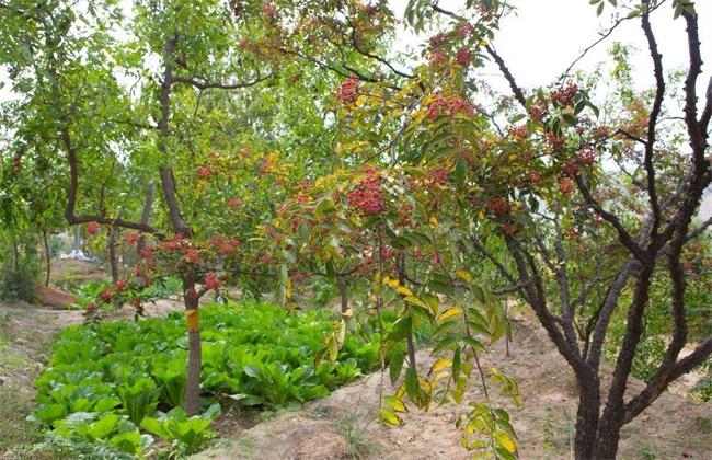 沙土地种植什么果树好
