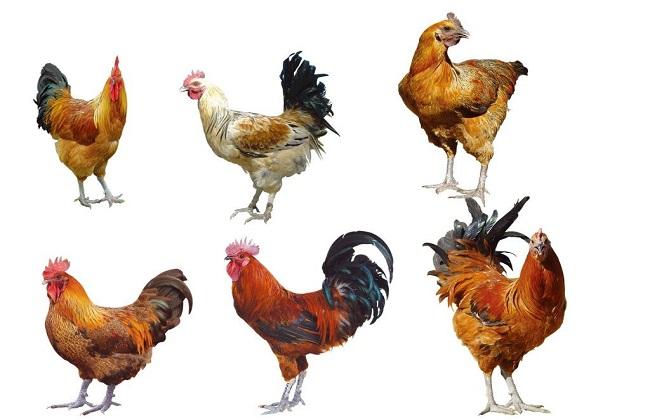 秋冬季四大常见鸡病的诊断和防治